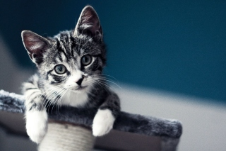 Domestic Kitten Background for Widescreen Desktop PC 1920x1080 Full HD
