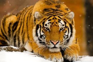 Siberian Tiger sfondi gratuiti per cellulari Android, iPhone, iPad e desktop