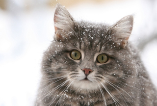 Cat - Winter Coat Picture for Android, iPhone and iPad