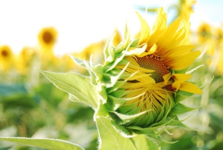 Blooming Sunflower Wallpaper for Android, iPhone and iPad