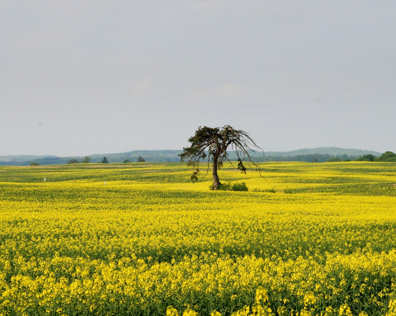Screenshot №1 pro téma Yellow Meadow Landscape 1600x1280