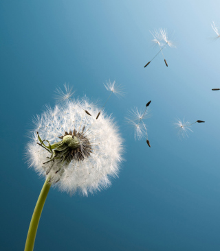 Wind Flower Dandelion sfondi gratuiti per iPhone 6