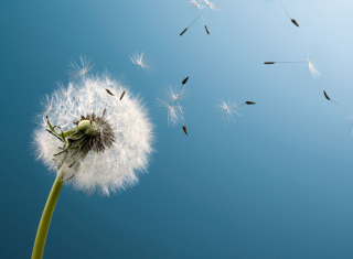 Wind Flower Dandelion sfondi gratuiti per cellulari Android, iPhone, iPad e desktop