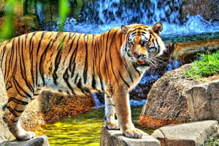 Tiger Near Waterfall Picture for Android, iPhone and iPad