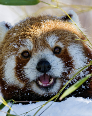 Free Red Panda Picture for HTC Titan