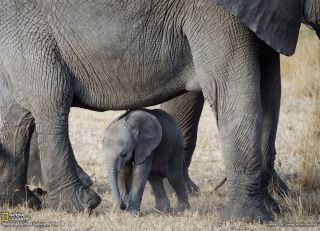 Baby Elephant Picture for Android, iPhone and iPad