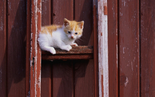 Free Gold And White Kitten Picture for Android, iPhone and iPad