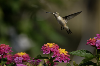 Hummingbird And Colorful Flowers Picture for Android, iPhone and iPad