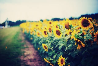 Free Sunflower Field Picture for Android, iPhone and iPad
