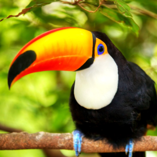 Toucan Bird sfondi gratuiti per iPad mini