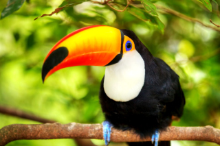 Toucan Bird Background for Android, iPhone and iPad