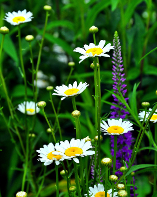 Free Daisies Field Picture for Nokia C1-01