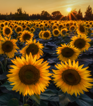 Sunflower Field In Evening - Fondos de pantalla gratis para 320x480
