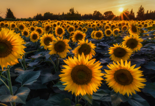 Sunflower Field In Evening Background for Android, iPhone and iPad