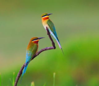 European bee-eater Birds sfondi gratuiti per iPad mini
