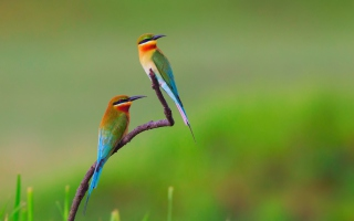 European bee-eater Birds sfondi gratuiti per cellulari Android, iPhone, iPad e desktop