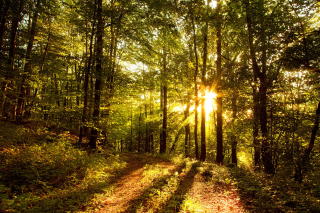Free Sunny Morning In The Forest Picture for Android, iPhone and iPad