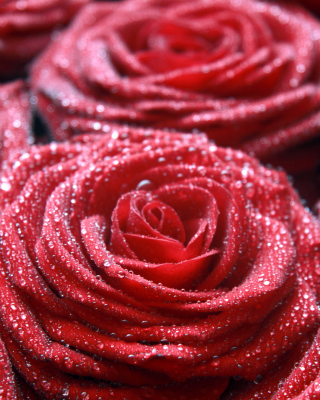 Macro Roses Dew Wallpaper for Nokia C1-01
