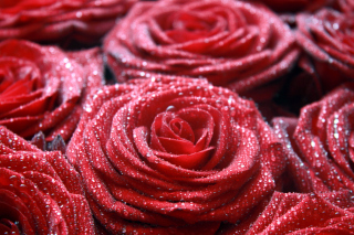 Macro Roses Dew Background for Android, iPhone and iPad