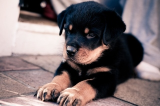 Rottweiler Puppy Background for Android, iPhone and iPad