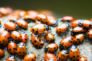 Free Ladybugs Picture for Android, iPhone and iPad