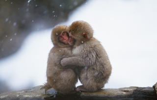 Monkey Love Wallpaper for Android, iPhone and iPad