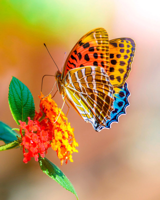 Kostenloses Colorful Animated Butterfly Wallpaper für 640x960