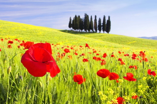 Red Poppy Field sfondi gratuiti per cellulari Android, iPhone, iPad e desktop