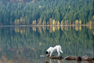 Dog Drinking Water From Lake - Obrázkek zdarma
