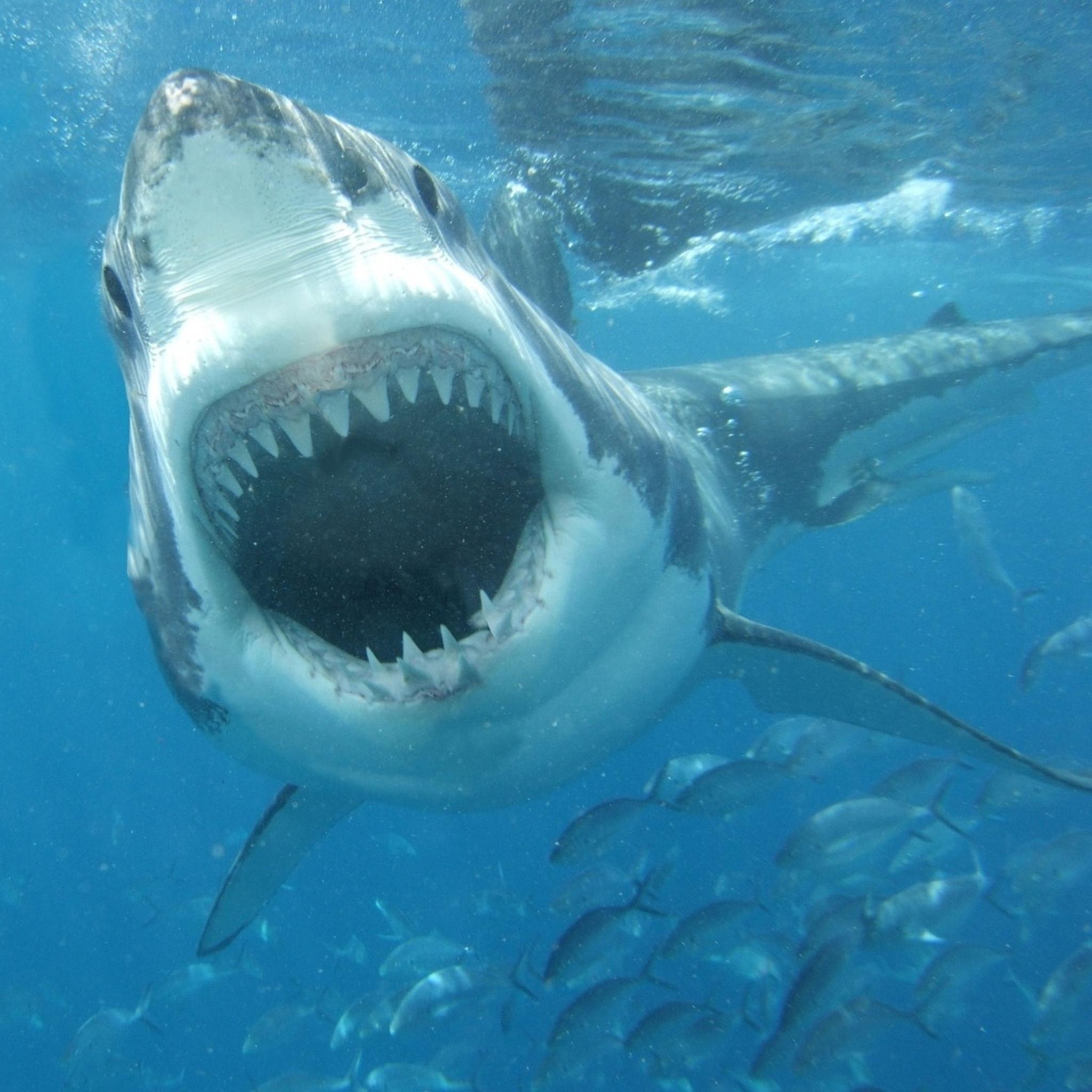 акулья пасть картинки церемонии сама рудковская