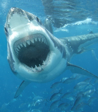 White Shark Picture for Nokia C1-01