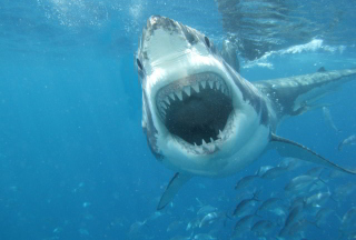 Free White Shark Picture for Android, iPhone and iPad