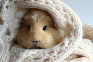 Free Guinea pig Picture for Android, iPhone and iPad