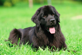 Newfoundland Dog Background for 2880x1920