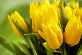 Free Yellow Tulips Picture for Android, iPhone and iPad