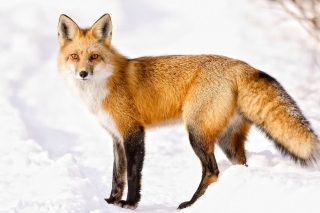 Red Fox In Taiga Background for Android, iPhone and iPad