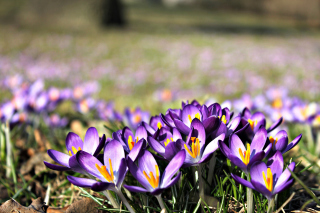Crocus purple flowers Background for Android, iPhone and iPad