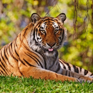 Free Royal Bengal Tiger in Dhaka Zoo Picture for iPad mini 2