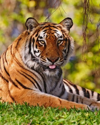 Royal Bengal Tiger in Dhaka Zoo sfondi gratuiti per iPhone 6