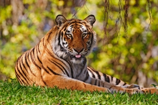 Royal Bengal Tiger in Dhaka Zoo Background for Samsung Galaxy Ace 4