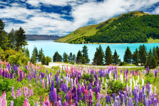 Lavender flowers in England Background for Desktop 1280x720 HDTV