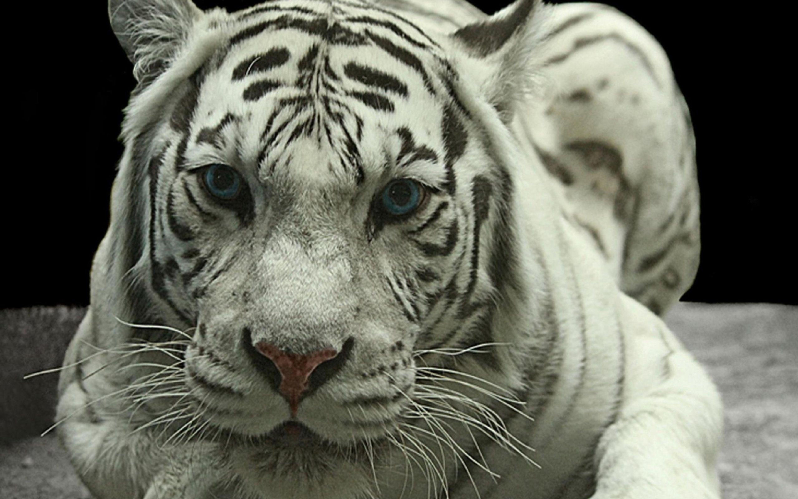 white tiger pictures
