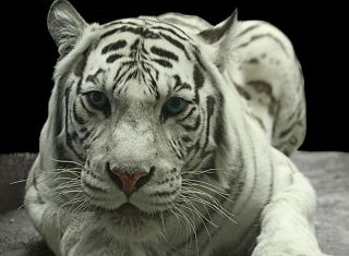 Free White Tiger Picture for Android, iPhone and iPad