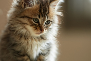 Furry Kitten Picture for Android, iPhone and iPad