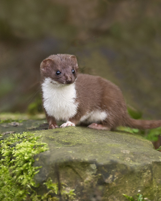 Stoat Picture for 320x480