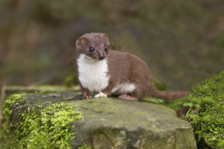 Stoat Wallpaper for Android, iPhone and iPad