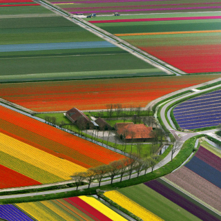 Dutch Tulips Fields - Fondos de pantalla gratis para 208x208