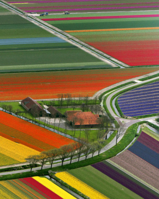 Dutch Tulips Fields Background for 240x320