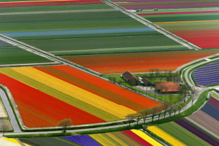 Dutch Tulips Fields sfondi gratuiti per 1080x960