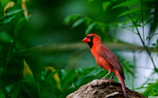 Curious Red Bird Background for Android, iPhone and iPad